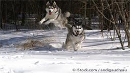 "Siberian Husky: The ""Street Angel and House Devil"" That's NOT for First Time Owners"