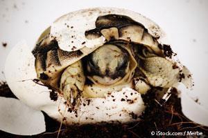 Huevos de Tortuga