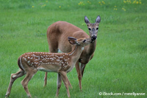Mother and Baby Deer