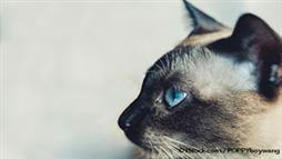 Siamese: This Cat Breed Is Immensely Popular, Chatty, and Witty