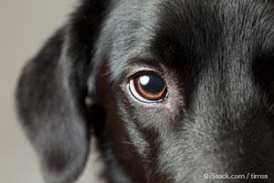 Green Eye Little Yellow Dog