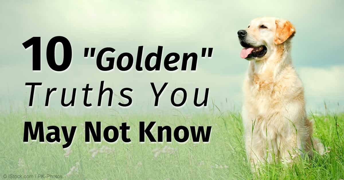 Golden Retrievers Easy To Train And Eager To Please Dog Breed