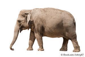 Endangered Sumatran Elephant