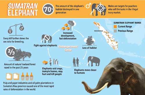 Sumatran Elephant Infographic
