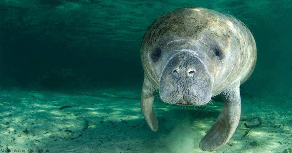 Lease To Own Car >> 19 Endangered Manatees Rescued from Florida Storm Drain