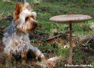 Mushroom poisoning in dogs