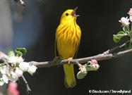 Yellow Songbird