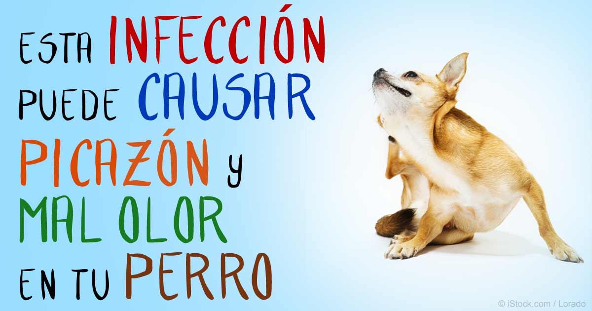 Perro Apestoso O Con Picazón Podría Ser Infección Por Levadura
