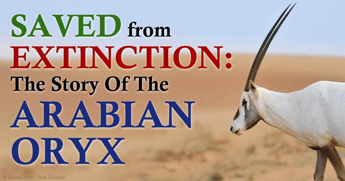 Truede arabisk oryx Born In Miami-9773