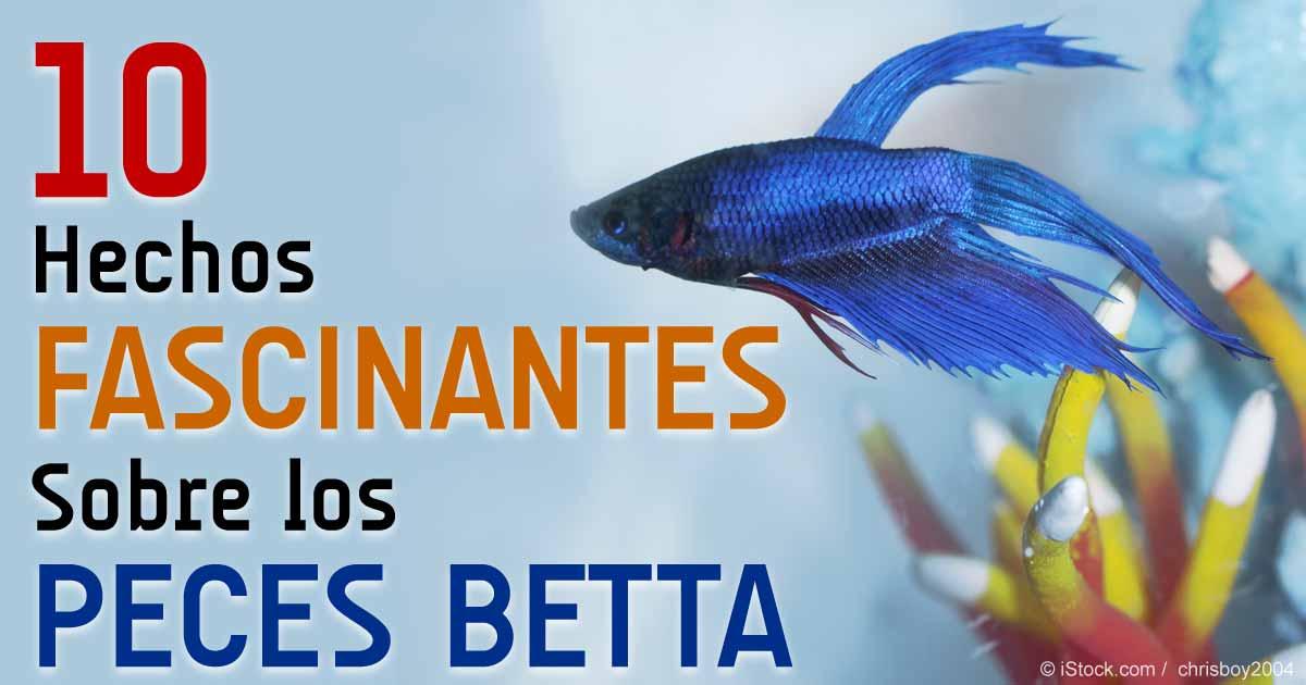 10 curiosidades sobre los peces betta for Peces de agua dulce para peceras sin oxigeno
