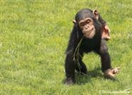 Chimpanzee Fashion Trend