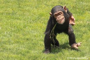 Moda del Chimpancé