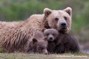 Familia de Osos Grizzly