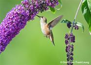 Hummingbird Facts: These Critters Must Have a Sugar Fix - Or They Starve to Death