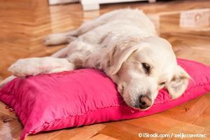 Perro con Enfermedad Cardíaca