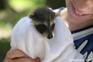 They May Look Cute and Cuddly, but Raccoons Are Not Pets