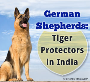 german shepherds track down poachers