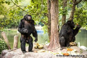 chimpanzee communication