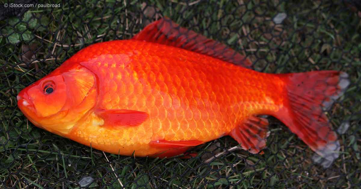 Never ever relinquish pet goldfish into the wild for Big gold fish