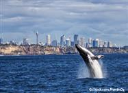 Humpback Whales Make a Comeback in Australia