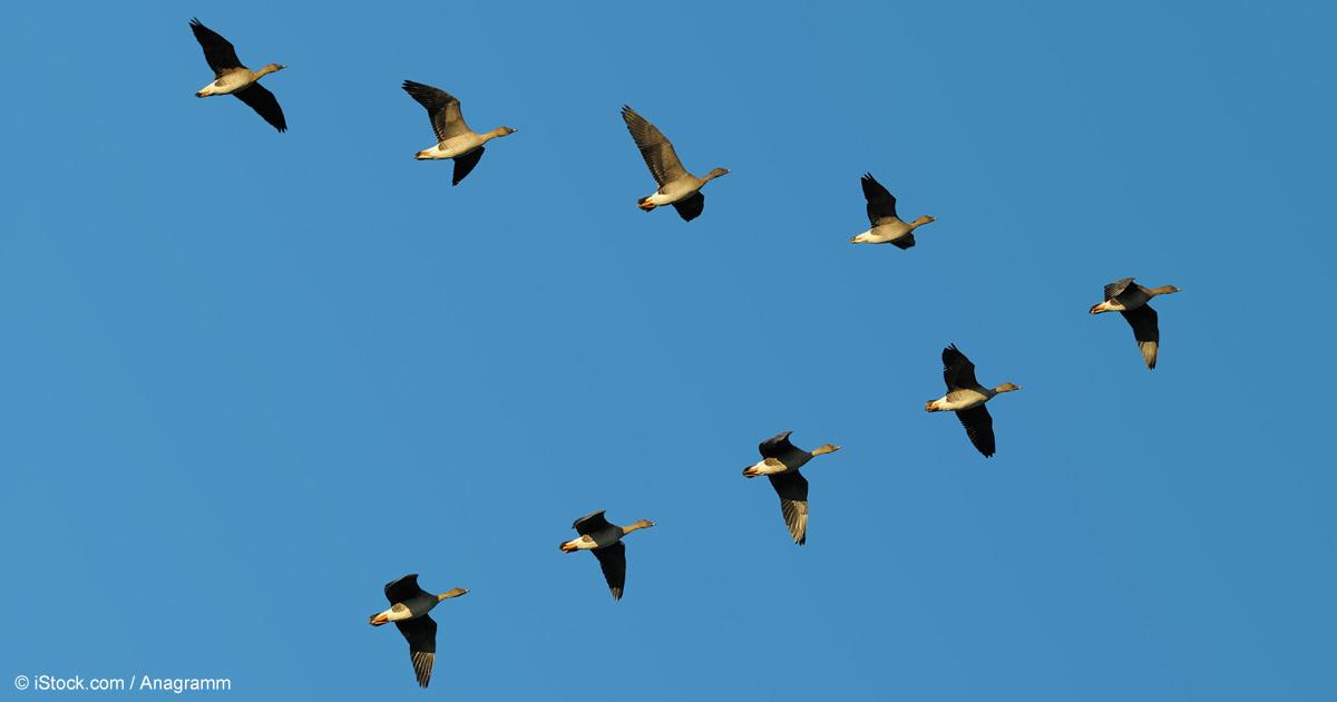 Migratory Birds Perform Stunning Aeronautical Feats