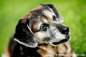 Inflamación en Perros