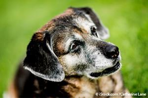 dog inflammatory genes