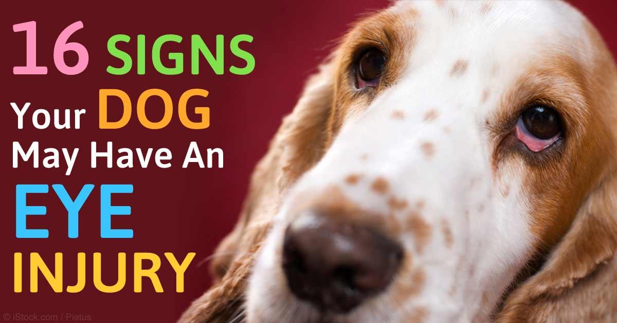 Bloody Eye Discharge Dog