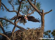 Bald Eagles Nesting in New York City for the First Time in 100 Years