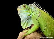 Iguana: The Popular Animal Most People Should Never Buy