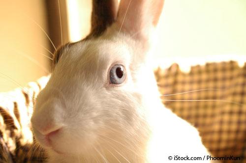 Conejo Mascota