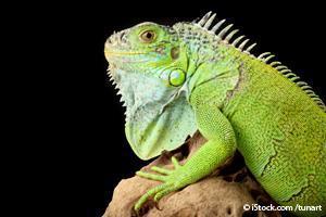 iguana animal exotic