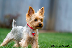 Small Size, Big Personality... Yorkshire Terriers Will Steal Your Heart Again and Again