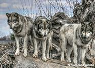 wolf myths