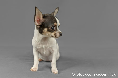 Orejas Caninas