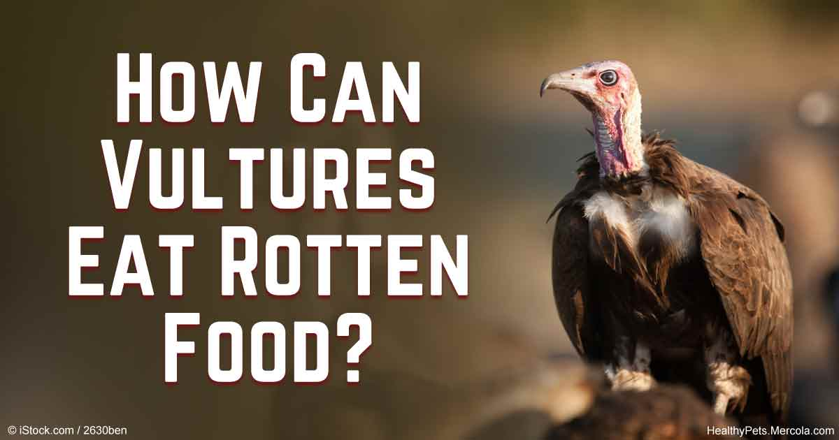 Vultures Eats Rotten Meat Without Getting Sick