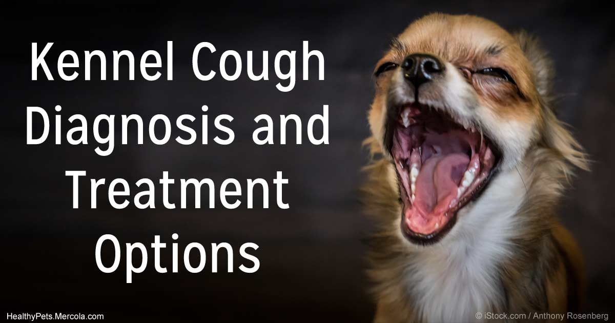 Kennel Cough Diagnosis And Treatment Options