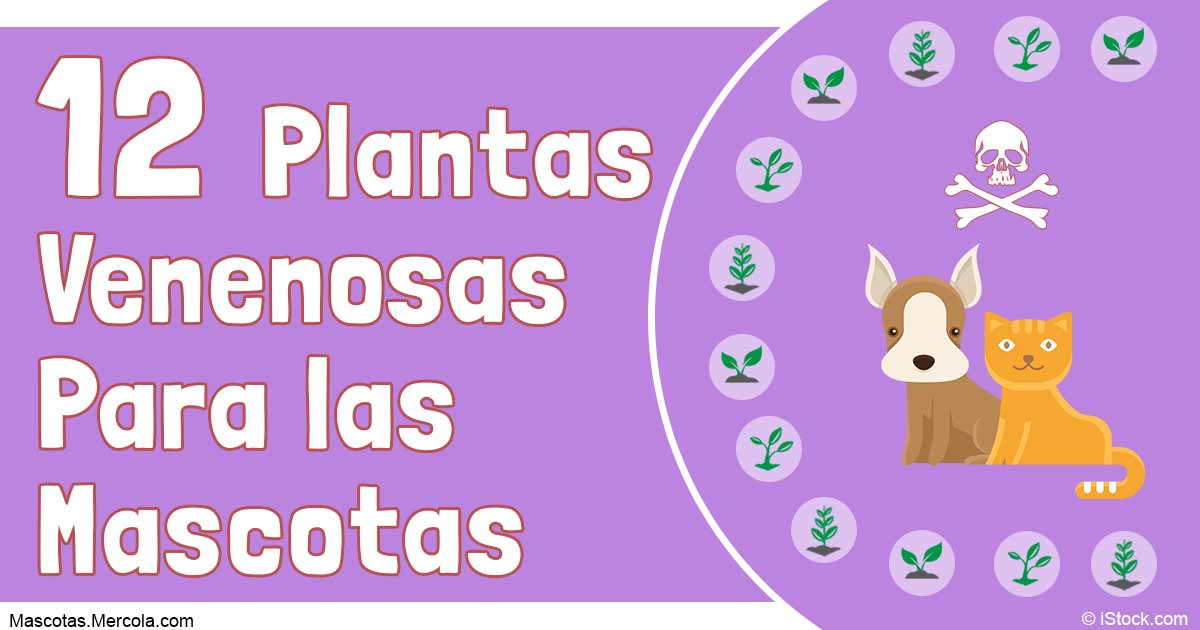 12 plantas venenosas para mascotas - Plantas venenosas para gatos ...