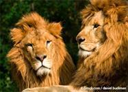 ethiopia lions