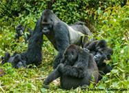 gorilla population