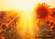 How Sunflowers Follow the Sun's Path: A Circadian Clock Revealed
