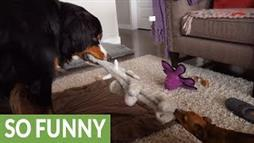 Giant Dog, Tiny Dog Tug-of-War Upset