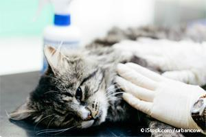 examining cat's injection site for sarcoma