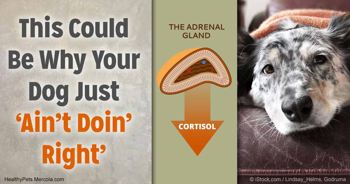 Cortisol Insufficiency in Dogs