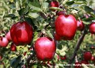 Great Expectations: The Rise - and Fall - of the (Once) Red Delicious Apple
