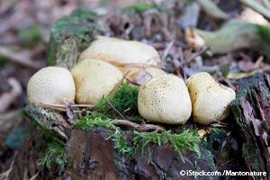 scleroderma mushroom