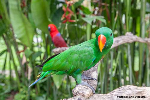 Solomon Island Eclectus Parrots