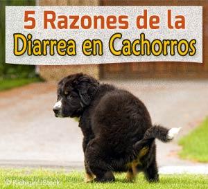 esta causa de diarrea en cachorros puede ser fatal