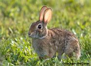 New England Cottontail Removed From Endangered Species List