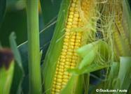 Stop Subsidizing Monsanto's Corn